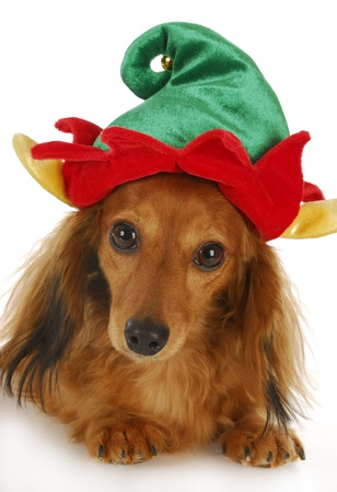 dachshund wearing cute elf hat looking at viewer with reflection on white background photo