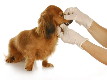 veterinary care - dachshund being examined by veterinarian on white background Stock Photo - 8825044