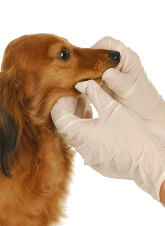 groomer: veterinary care - dachshund being examined by veterinarian on white background