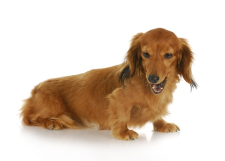 long nose: dog barking - miniature dachshund with mouth open barking with reflection on white background Stock Photo