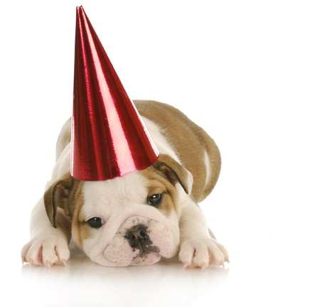 bull's eye: party dog - english bulldog puppy wearing red party hat with reflection on white background