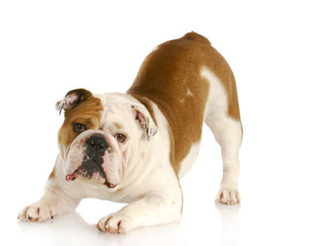 bowing head: playful dog - english bulldog with reflection on white background