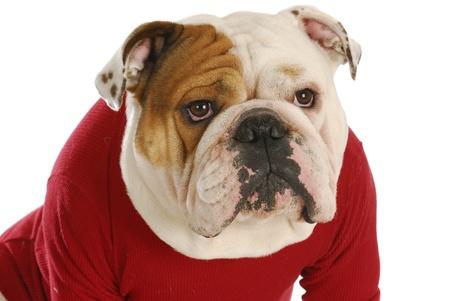 english bulldog wearing red dog coat on white background photo