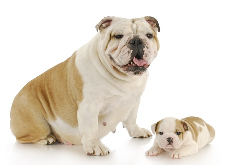 english bulldog mother and puppy looking at viewer with reflection on white background photo