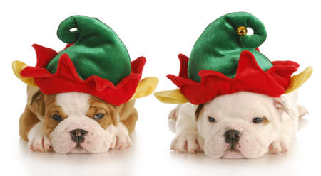 like english: english bulldog puppies dressed up like christmas elf with reflection on white background Stock Photo