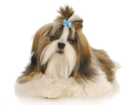 shih: shih tzu wearing blue bow in hair laying with reflection on white background Stock Photo