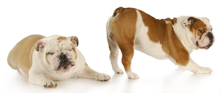 english bulldog disgusted by the smell of another dogs bum with reflection on white background photo