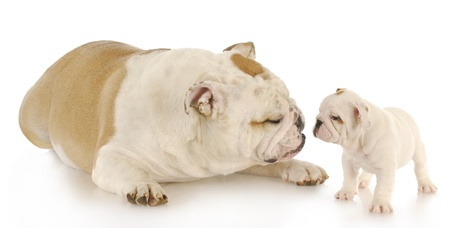 raised eyebrow: english bulldog mother and puppy with reflection on white background