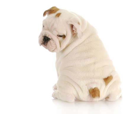 over the shoulder: english bulldog puppy looking over shoulder on white background - 8 weeks old Stock Photo