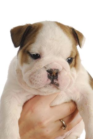 english bulldog puppy - five weeks old - on white background Stock Photo - 9061378