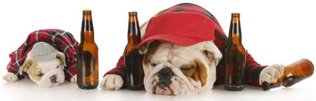 drunken: english bulldog