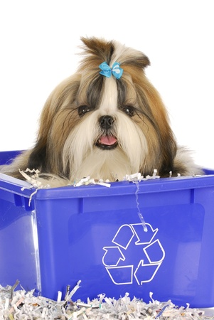 shih: adorable shih tzu sitting in recycle bin on white background Stock Photo