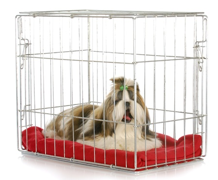 sad dog: dog in a crate yawning - shih tzu bored of being crated on white background Stock Photo