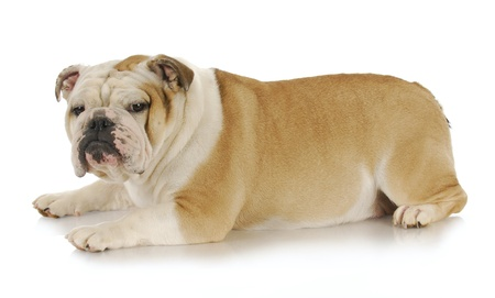 english bulldog with disgusted expression looking at viewer on white background photo