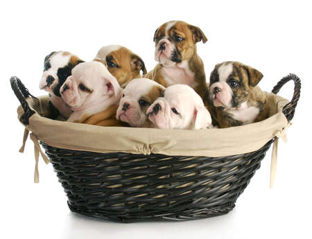 old english: litter of puppies - wicker basket full of english bulldog puppies - 6 weeks old Stock Photo
