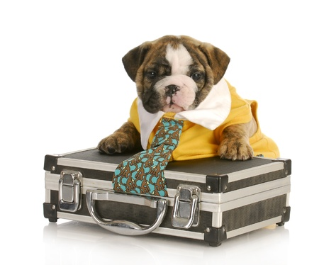 dog grooming: english bulldog puppy with tie stuck in a briefcase on white background