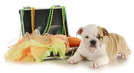 english bulldog puppy packed up to move to new home on white background Stock Photo