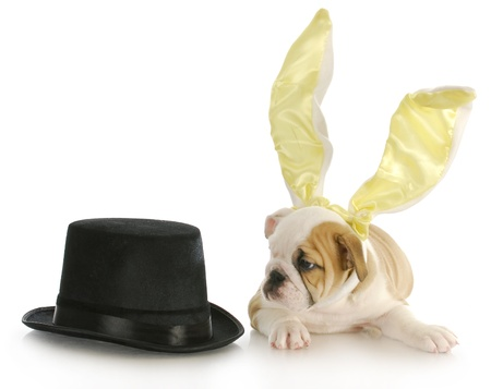 english bulldog puppy dressed as easter bunny laying beside top hat on white background photo