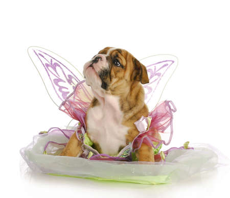 old english: puppy dressed like an angel - adorable english bulldog puppy - 7 weeks old