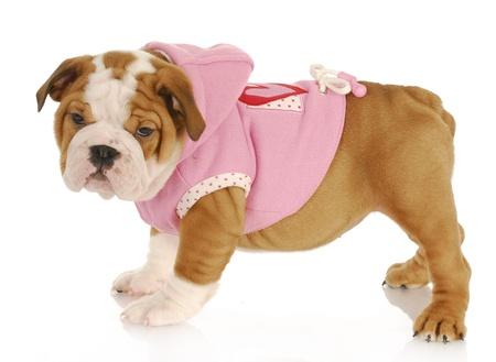 english bulldog puppy wearing pink dog coat - eight weeks old photo