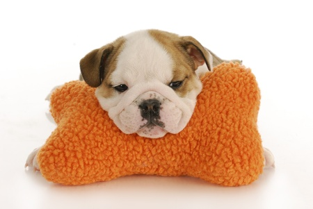 english bulldog puppy resting head on stuffed bone with reflection on white background photo