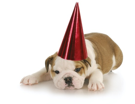 english bulldog wearing red party hat with reflection on white background Stock Photo - 9099367