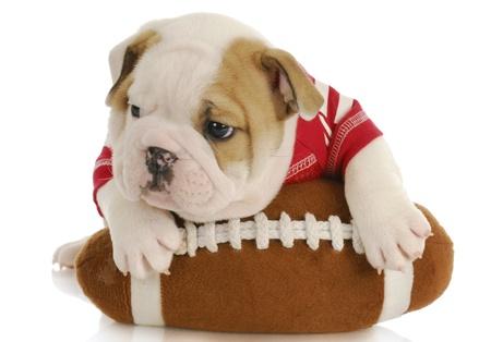 english bulldog puppy wearing football jersey laying on stuffed football - six weeks old photo