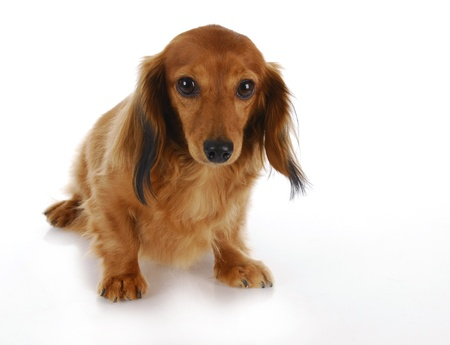 humiliated: guilty looking dog - long haired miniature dachshund on white background