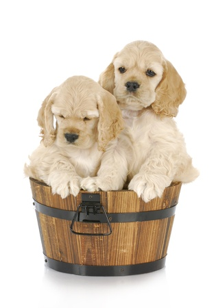 small basket: litter of cocker spaniel puppies in a wooden bucket on white background Stock Photo