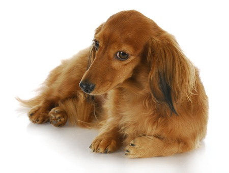 knowing: miniature dachshund laying down with knowing look in the eye on white background