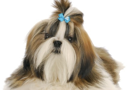 grooming: adorable shih tzu puppy with blue bow on white background