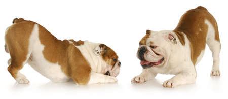 playful behaviour: two english bulldogs with bums up playing with reflection on white background