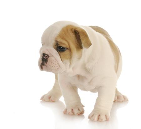 english bulldog puppy walking with reflection on white background - six weeks old Stock Photo - 9172729