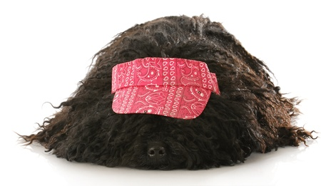 corded: corded puli wearing red hat laying down on white background