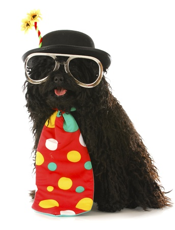 corded: dog dressed like a clown - corded puli wearing clown costume on white background