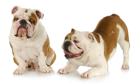 dogs playing - two english bulldogs playing - one trying to ignore the other on white background photo