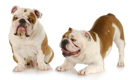 perros jugando: perros jugando - dos bulldogs ingl�s jugando - uno intentando ignorar el otro sobre fondo blanco Foto de archivo