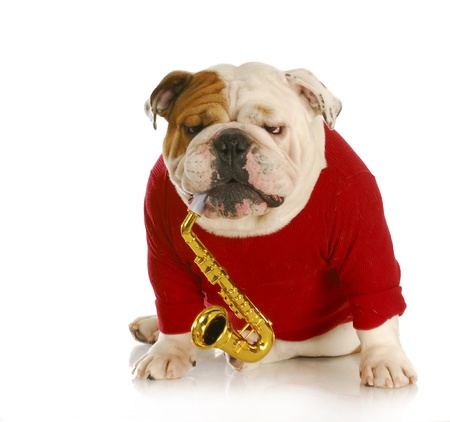 rehearse: english bulldog playing musical instrument with reflection on white background