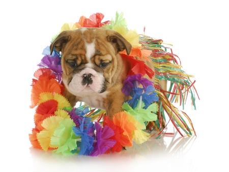 wiggler: puppy dressed like a hula dancer - english bulldog - 7 weeks old