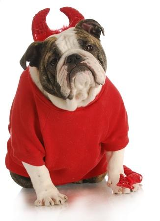 like english: bad dog - english bulldog dressed up like a devil on white background Stock Photo