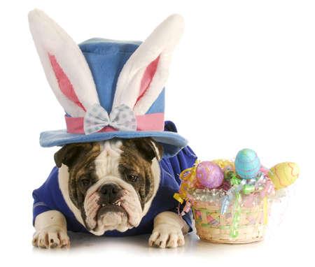 silhouette lapin: chien de P�ques - anglais buldog habill� pour P�ques sur fond blanc