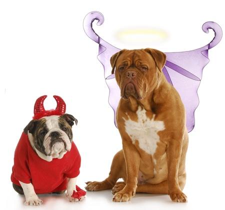 bad angel: good dog - bad dog - english bulldog devil sitting beside dogue de bordeaux angel on white background Stock Photo