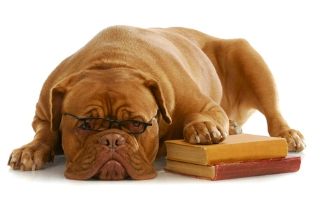 dog obedience school - dogue de bordeaux wearing glasses with paw up on stack of books on white background photo