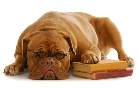 obediencia: Escuela de obediencia de perro - Dogo de Burdeos vistiendo Estocolmo paw arriba en la pila de libros sobre fondo blanco