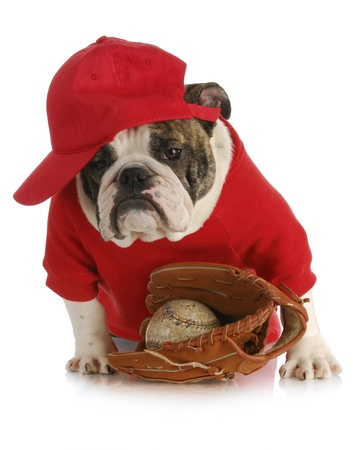 sports hound - english bulldog wearing red shirt and hat with baseball and glove on white background photo