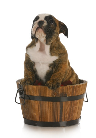 adorable english bulldog puppy in a wooden bucket on white background photo