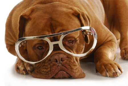 intelligent dog - dogue de bordeaux wearing large glasses laying down on white background photo