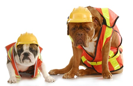 working dogs - english bulldog and dogue de bordeaux dressed like very tire construction workers on white background photo