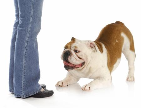 obedience: bulldog inglés mendicidad a jugar a los pies del propietario sobre fondo blanco