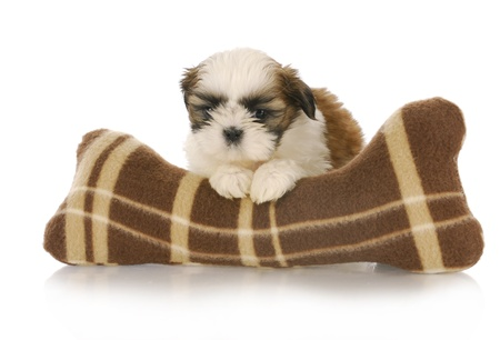 shih: cute shih tzu puppy with stuffed toy on white background